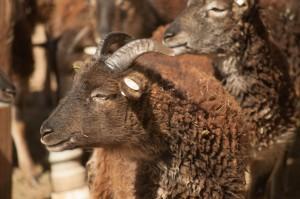 2014 British Soay ewe Saltmarsh Blyth