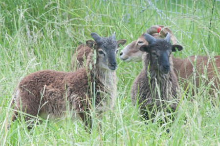 Fun with naming Soay twins