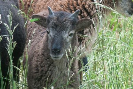 British Soay ewe lambs for sale