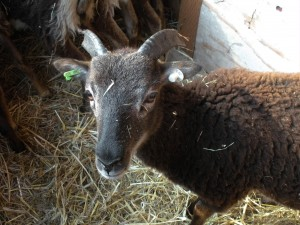 2011 British ewe Saltmarsh Netley