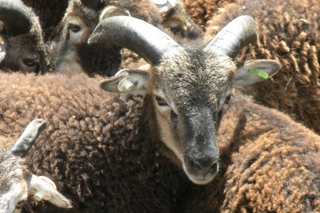 Almost down to half-sized flock, still a few British Soay left on half price sale