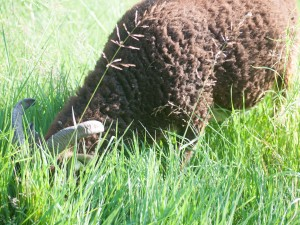 Winfield getting a mouthful of summer grass