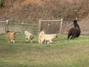 Llama and dogs romping in the fields just for fun