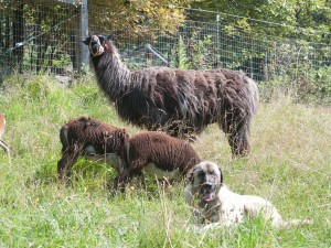 Hank hangs with Luke and the rams