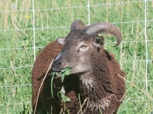 2014 British Soay wether on Saltmarsh Ranch