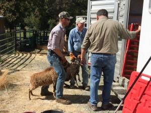 Shawn loads Soay sheep onto Ed's trailer
