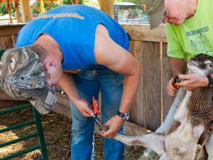 Annual hoof trim, a 2-person job