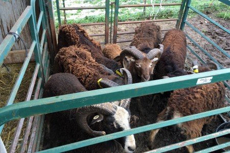 "Soay ""Scrum"" 2015: safely re-introducing breeding rams to the bull pen"