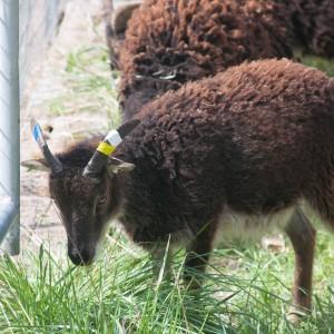 Yearling ewe Ascott carries the gene for white spotting