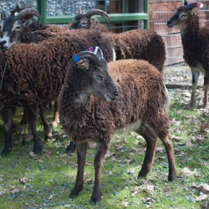 Yearling ewe Chilton is very dark. Her father and both of her grandmothers are virtually black or very dark brown