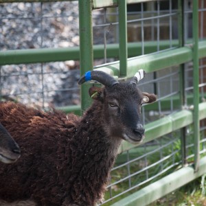 Yearling  Farnham is a lovely dark ewe whose father is virtually black