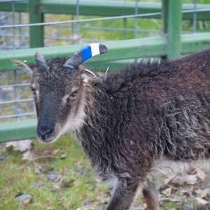 Lovely yearling ewe Bennett carries the gene for white spotting. She is ready to breed and of course will not pass on her broken horn!