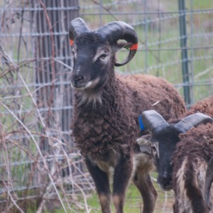 Yearling ram Hartwell carries the gene for light phase and his father Lewes is virtually black