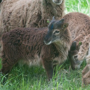 This pretty reddish brown lamb is also a tan carrier