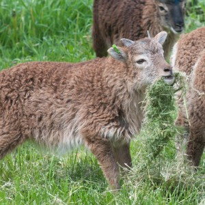 Hungry light phase ewe lamb also carries the gene for white spotting (her mother is white-spotted)