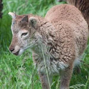 Pretty light phase ewe lamb will produce tan lambs when bred to tan ram or tan-carrying lambs when bred to brown ram