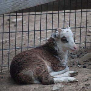 Brown ram lamb with extensive white spotting, also has light phase in his ancestry