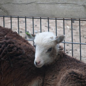 Brown ewe lamb with extensive white spotting
