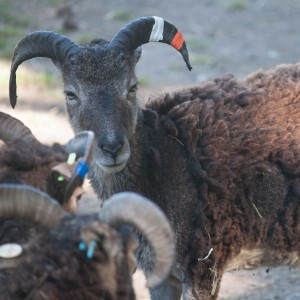 Brown yearling ewe Pollicott carries the gene for light phase and her mother Darby is virtually black