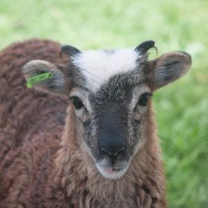 Ewe lamb with distinctive white spot, better than an Easter bonnet!