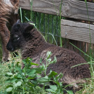 This pretty dark brown ewe lamb carries light phase; her mother was black at birth