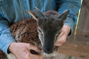 Soay ram Sandford at 6 weeks, wide horn buds