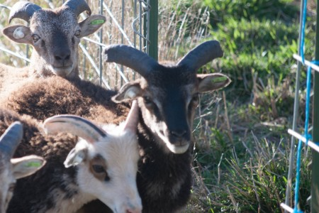 Ah, those glorious Soay ram horns — there's nothing quite like them!