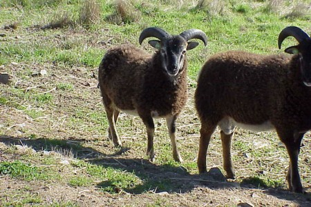 When to trim Soay ram horns: a pictorial example