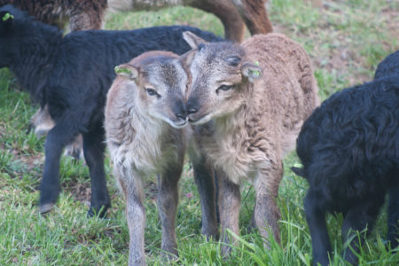 2017 Soay lambs at Saltmarsh Ranch: the first wave