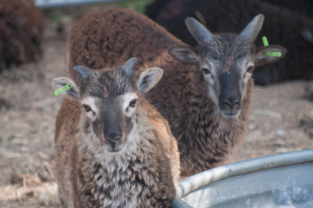 RBST-registered Soay sheep for sale June 2017