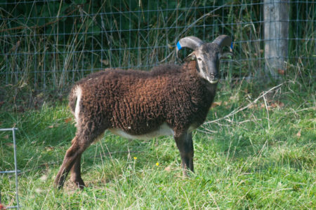 RBST-registered purebred Soay sheep for sale: update