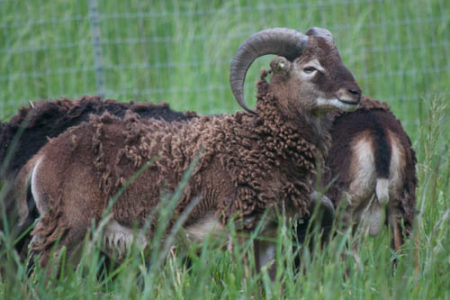 Soay Rams for Sale