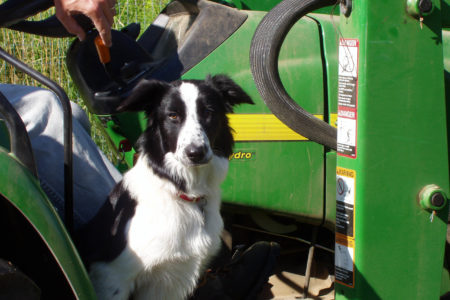 A good herding dog is a shepherd's joy: Molly remembered