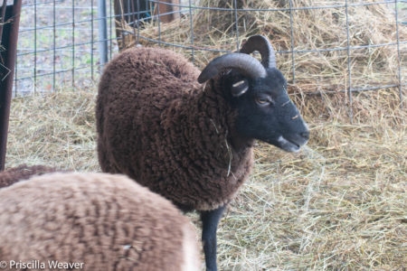 The case for all-wether Soay sheep flocks
