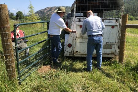 How to safely unload your new Soay sheep into their pasture
