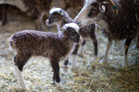How often do Soay ewes produce twins?  Some thoughts and some data